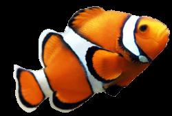 Clownfish clipart premium
