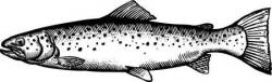Sketch clipart trout