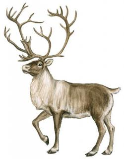 Drawn moose arctic tundra