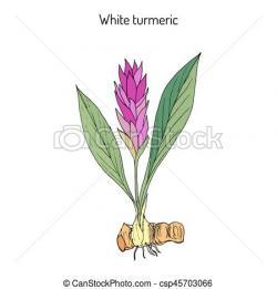Turmeric clipart curcuma