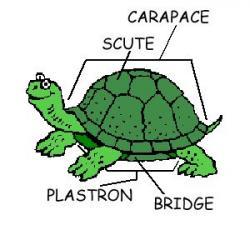 Tortoise clipart zoology