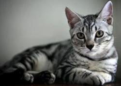 Tuxedo Cat clipart american shorthair