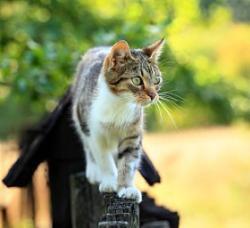 Calico Cat clipart american shorthair