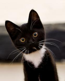 Tuxedo Cat clipart black kitten