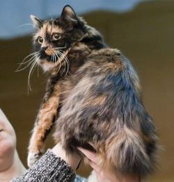 Tuxedo Cat clipart manx cat