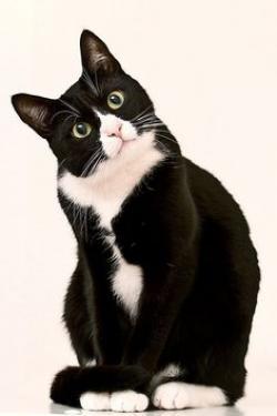 Tuxedo Cat clipart pet cat