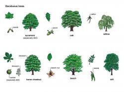 Ume Tree clipart acorn tree