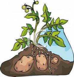 Potato clipart the ground