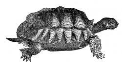 Sleleton clipart turtle