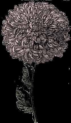 Chrysanthemum clipart transparent