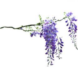 Wisteria clipart wisteria flower