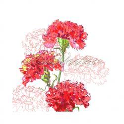 Carnation clipart valentine