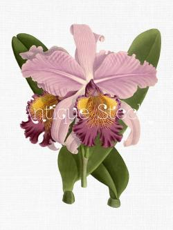 Drawn orchid illustration