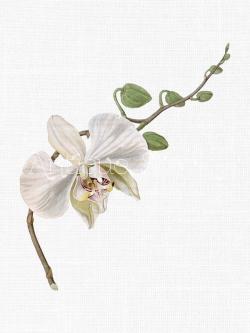 Vintage Flower clipart orchid