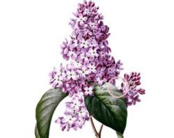 Lilac clipart vintage
