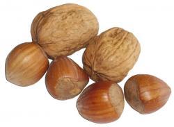 Walnut clipart hazelnut