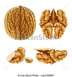 Nut clipart walnut