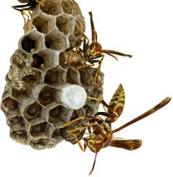 Wasp clipart wasp nest