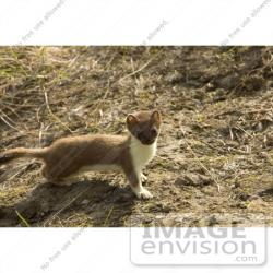 Weasel clipart short tailed