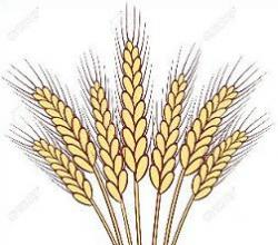 Grains clipart wheat stalk