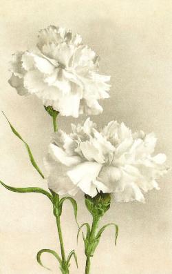 Carnation clipart dianthus caryophyllus