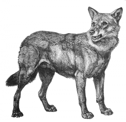 Jackal clipart black and white