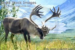 Caribou clipart wildlife