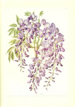 Wisteria clipart botanical
