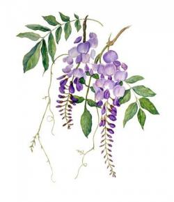 Wisteria clipart painting