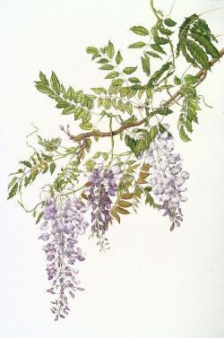 Wisteria clipart vine tree