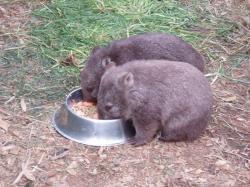 Quokka clipart wombat