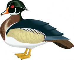 Wood Duck clipart