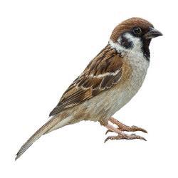 Sparrow clipart wren